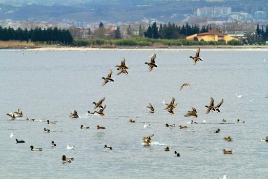 İzmit Körfezi, flamingolar ve binlerce su kuşunun uğrak yeri oldu