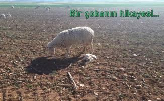 Eğitimcinin kaleminden...Bir çobanın hikayesi...