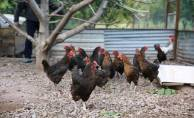 Kocaeli çiftçisine 20 bin tavuk desteği