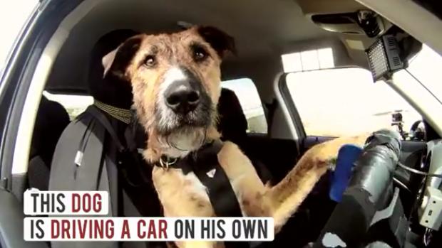 Adamlar Köpeğe araba kullanmasını öğretmişler